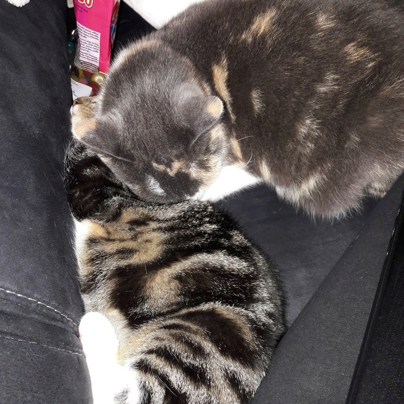 lisbeth - LISBETH, chatte européenne tricolore, née en 2015. 30825710