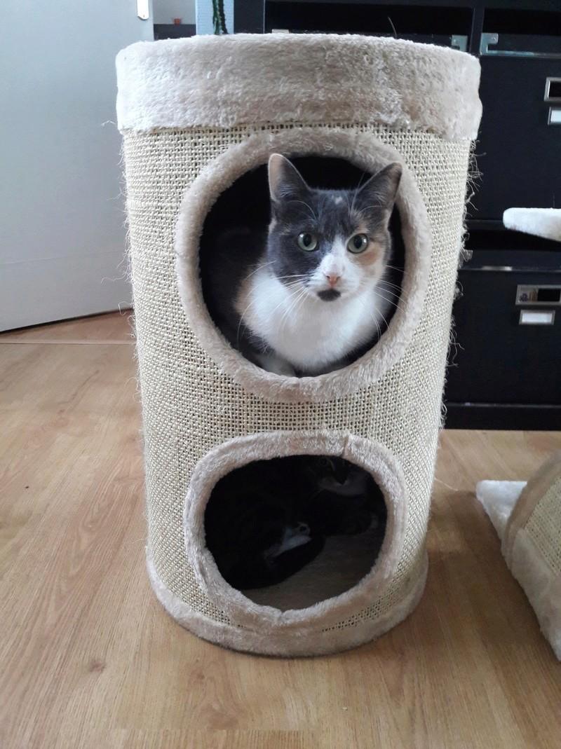 lisbeth - LISBETH, chatte européenne tricolore, née en 2015. 30826310