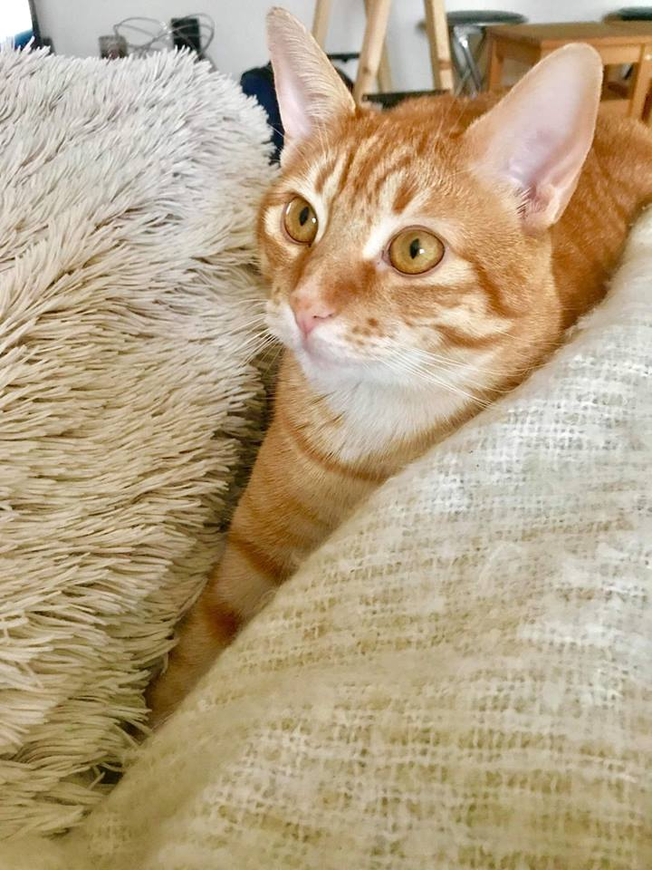 Nekos, jeune mâle tigré roux, néle 01/01/2017 46890110