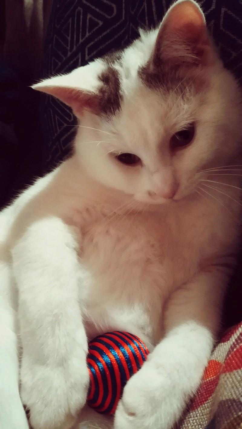 mango - MANGO, chat européen blanc&tigré gris, né en novembre 2016 Img_2038