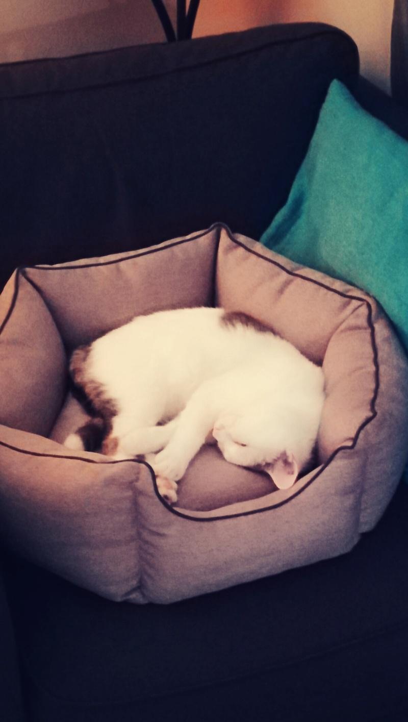 mango - MANGO, chat européen blanc&tigré gris, né en novembre 2016 Img_2039