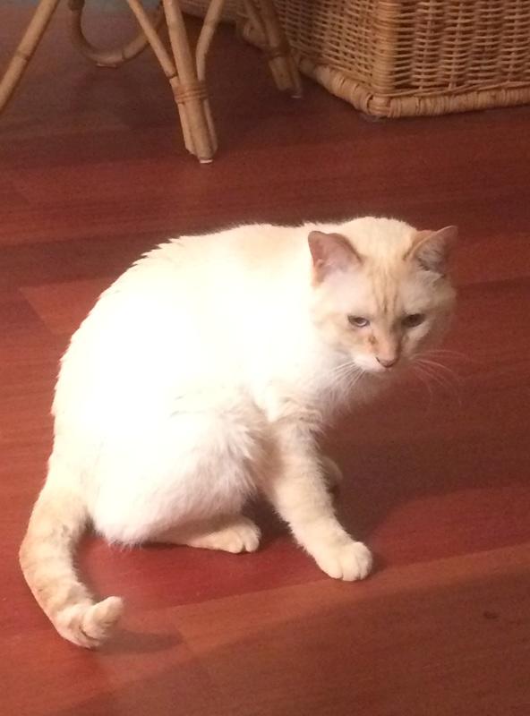 harlan - HARLAN, chat européen red point, yeux bleux, né en 2012 Img_2110
