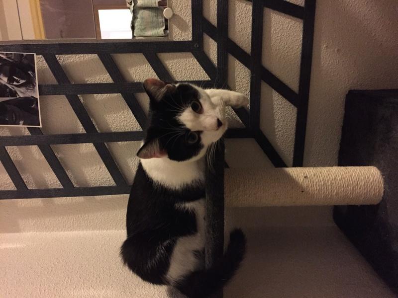 Oréo, chaton mâle noir et blanc né le 20 mai 2018. Img_2417