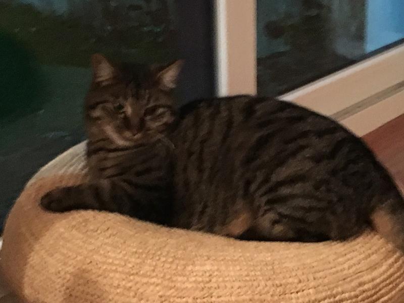 milano - Milano, chaton européen gris tigré, né en mai 2016 Img_4613
