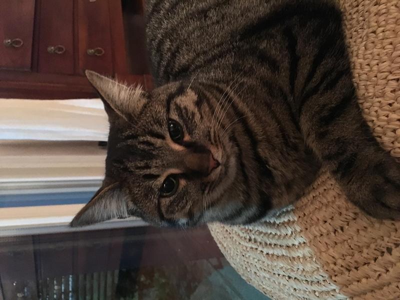 milano - Milano, chaton européen gris tigré, né en mai 2016 Img_4615