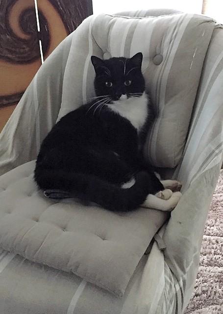 jevris - Jevris - chat mâle européen noir et blanc - nė en 2014 Img_9310