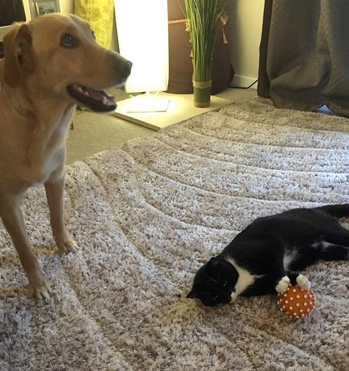 jevris - Jevris - chat mâle européen noir et blanc - nė en 2014 Img_9312