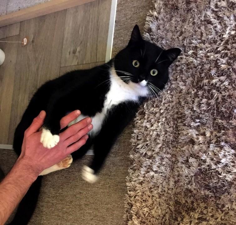 jevris - Jevris - chat mâle européen noir et blanc - nė en 2014 Img_9313