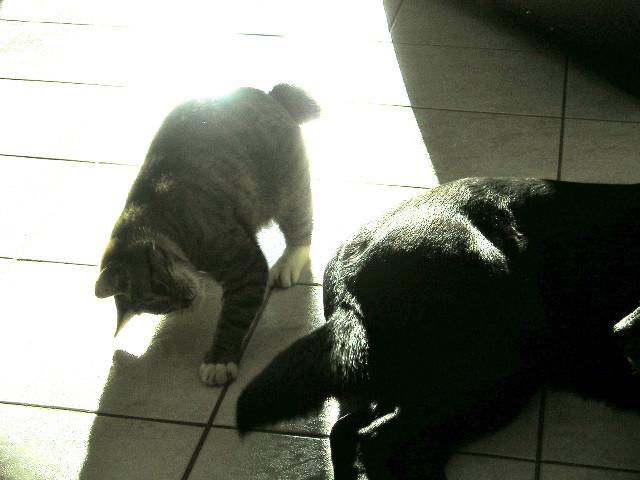 numerobis - NUMEROBIS, chat européenne robe marron tabby, né en Janvier 2017 P1010010