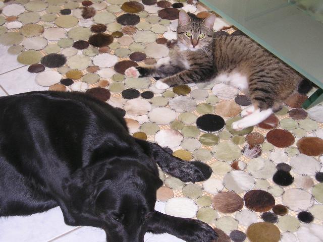 NUMEROBIS, chat européenne robe marron tabby, né en Janvier 2017 P1010012