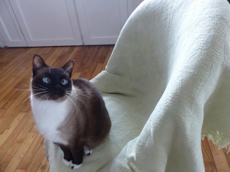 FLORETTE, chat de maison couleur chocolat,  née le 19 avril 2010. P1010210