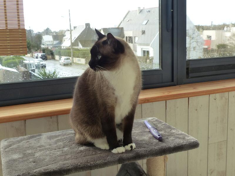 FLORETTE, chat de maison couleur chocolat,  née le 19 avril 2010. P1010211