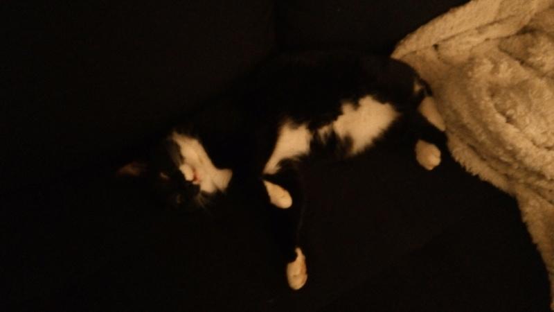 monello - Monello, chaton européen noir et blanc, né en mai 2016 P_201710