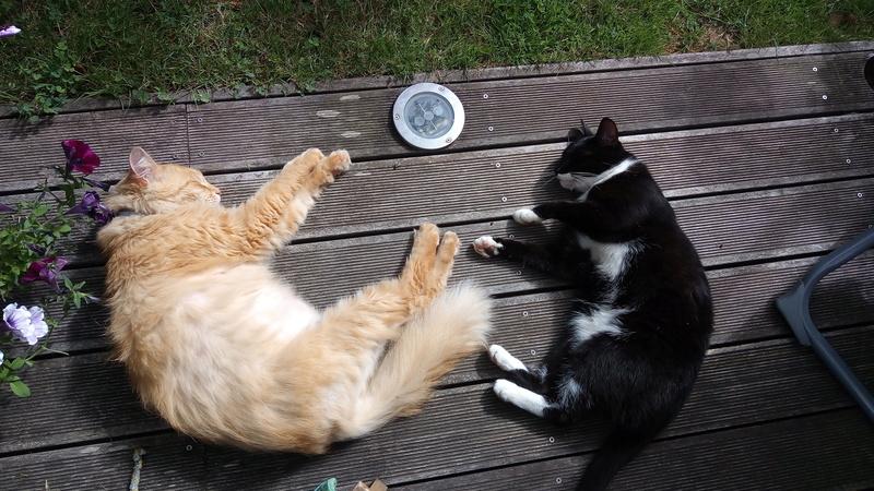 monello - Monello, chaton européen noir et blanc, né en mai 2016 P_201715