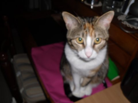 maeva - Maeva, chatonne tricolore, née le 20/05/2016 Sam_0411