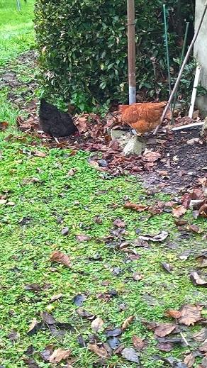 poulettes Wp_20110