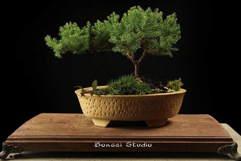 Bonsai - Page 31 1l12