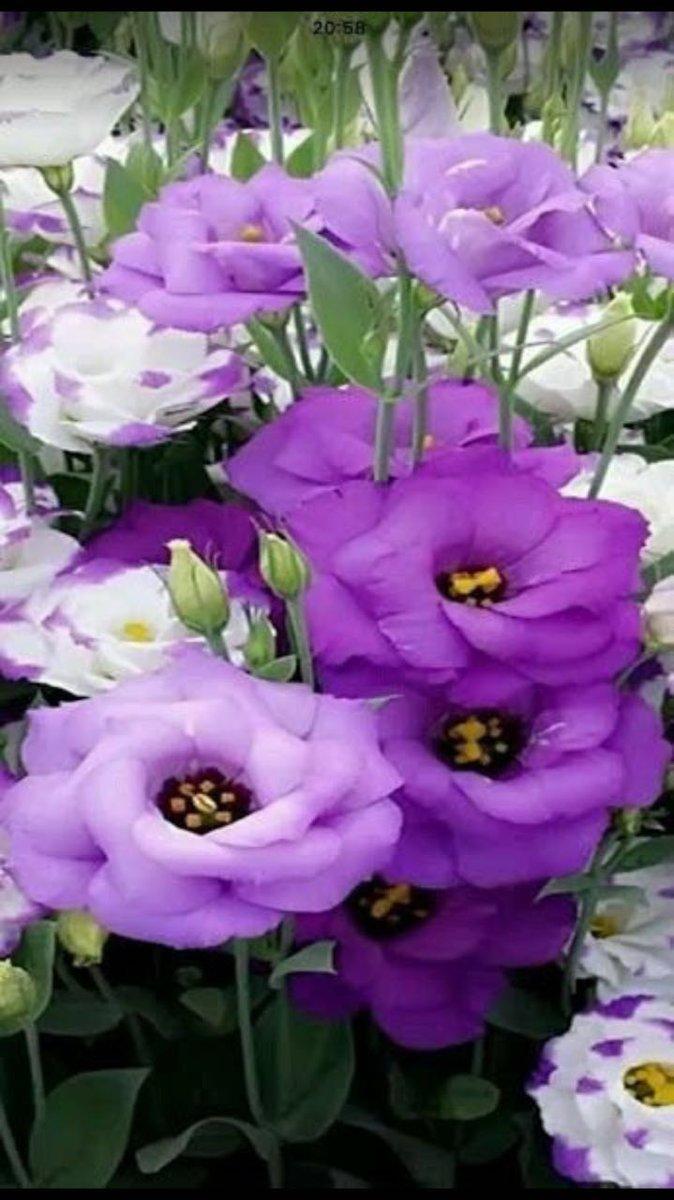 Cveće Cqmrye10