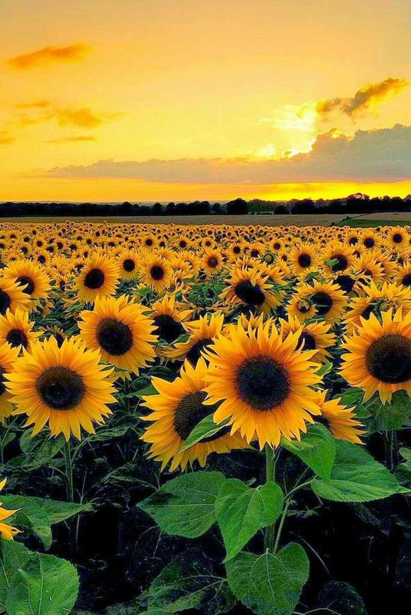 Suncokreti-sunflowers - Page 27 Da-nbu11