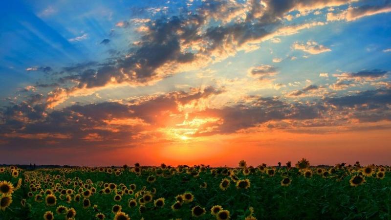 Suncokreti-sunflowers - Page 27 Summer14