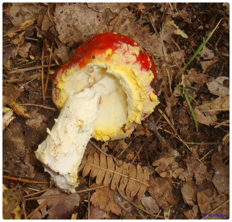 [fil ouvert] les champignons - Page 2 Dsc02090