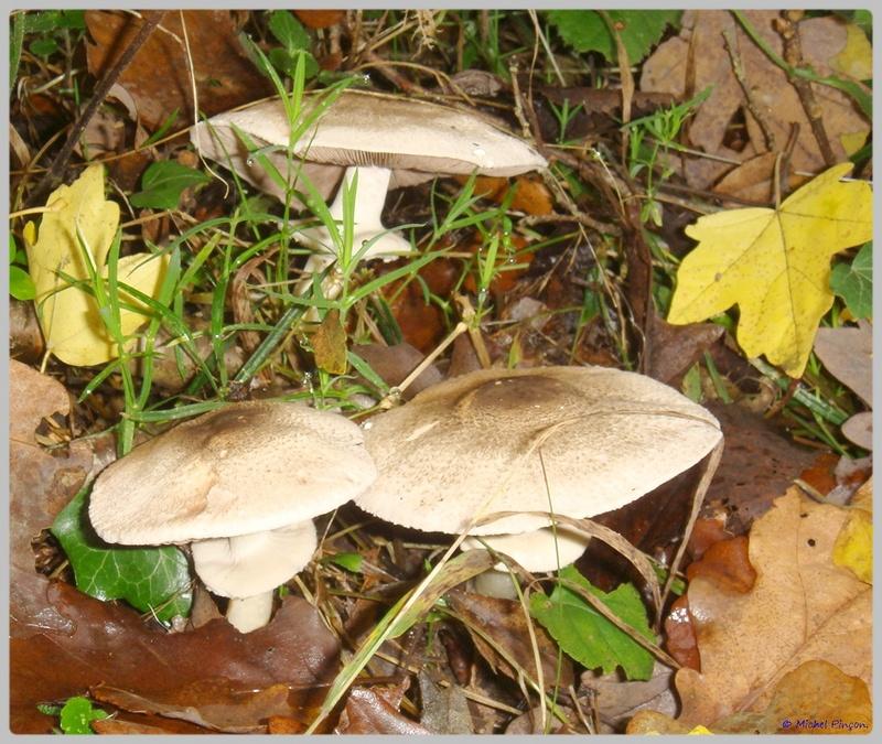 [fil ouvert] les champignons - Page 5 Dsc02121