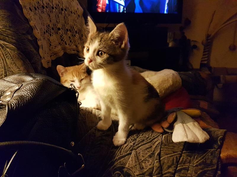 CALICE (ex KAÏNA) - chat femelle, née en fin juillet 2017 - En FA chez Abysse (depart92) - ADOPTEE PAR LAURE (95) 20171110