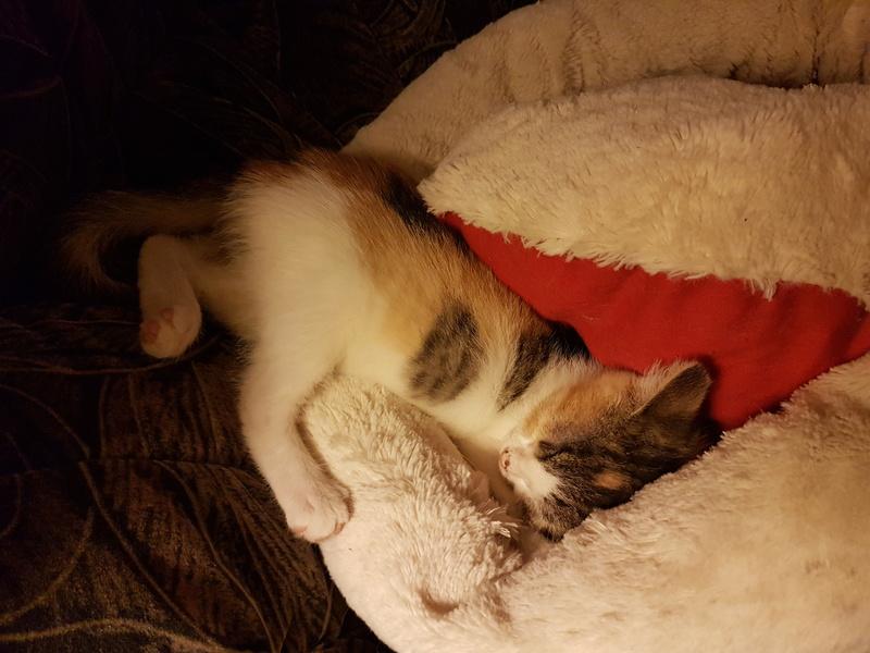 CALICE (ex KAÏNA) - chat femelle, née en fin juillet 2017 - En FA chez Abysse (depart92) - ADOPTEE PAR LAURE (95) 20171112