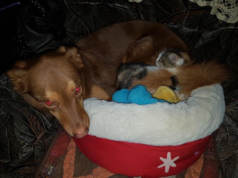 CALICE (ex KAÏNA) - chat femelle, née en fin juillet 2017 - En FA chez Abysse (depart92) - ADOPTEE PAR LAURE (95) 20171113