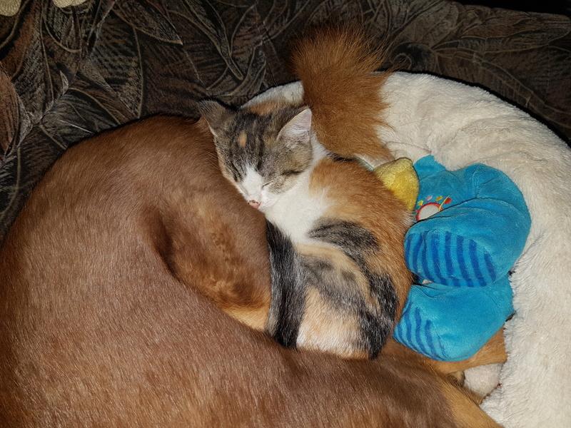CALICE (ex KAÏNA) - chat femelle, née en fin juillet 2017 - En FA chez Abysse (depart92) - ADOPTEE PAR LAURE (95) 20171114