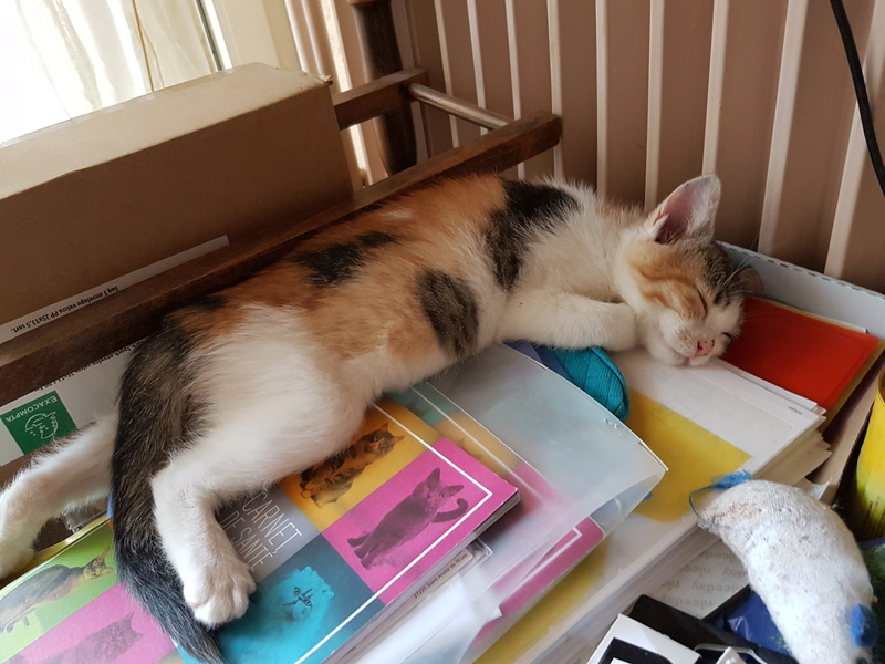 CALICE (ex KAÏNA) - chat femelle, née en fin juillet 2017 - En FA chez Abysse (depart92) - ADOPTEE PAR LAURE (95) 20171220