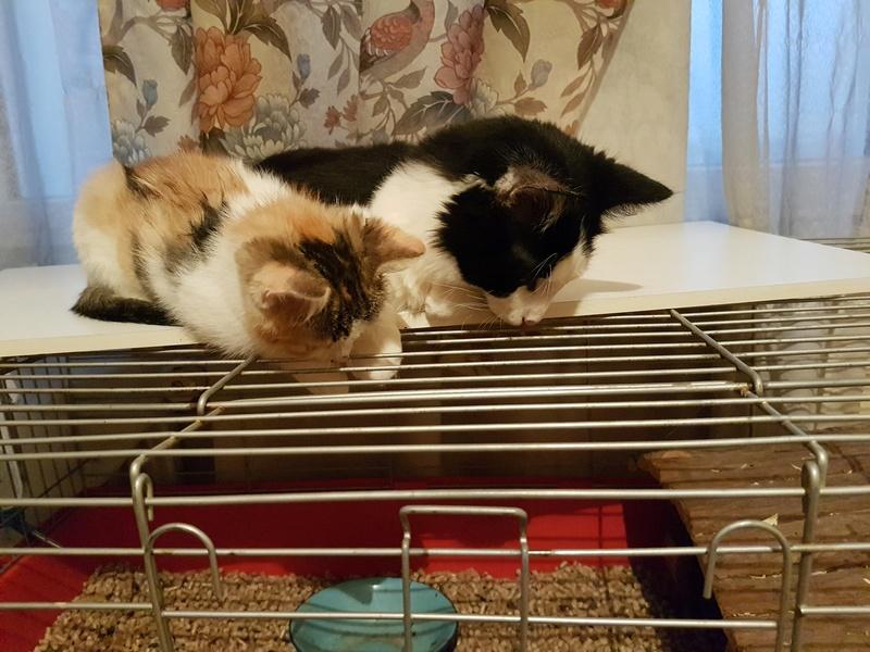 CALICE (ex KAÏNA) - chat femelle, née en fin juillet 2017 - En FA chez Abysse (depart92) - ADOPTEE PAR LAURE (95) 20171221
