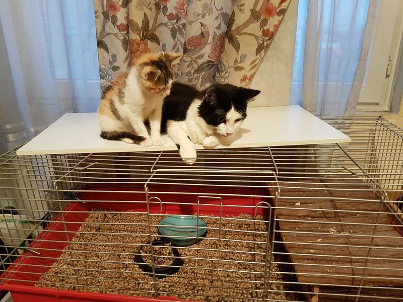 CALICE (ex KAÏNA) - chat femelle, née en fin juillet 2017 - En FA chez Abysse (depart92) - ADOPTEE PAR LAURE (95) 20171222