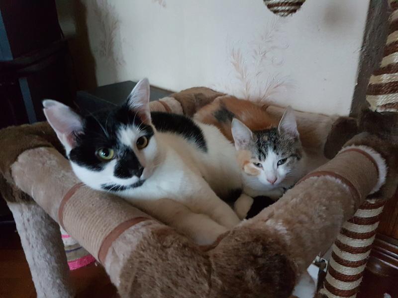 CALICE (ex KAÏNA) - chat femelle, née en fin juillet 2017 - En FA chez Abysse (depart92) - ADOPTEE PAR LAURE (95) 20171230