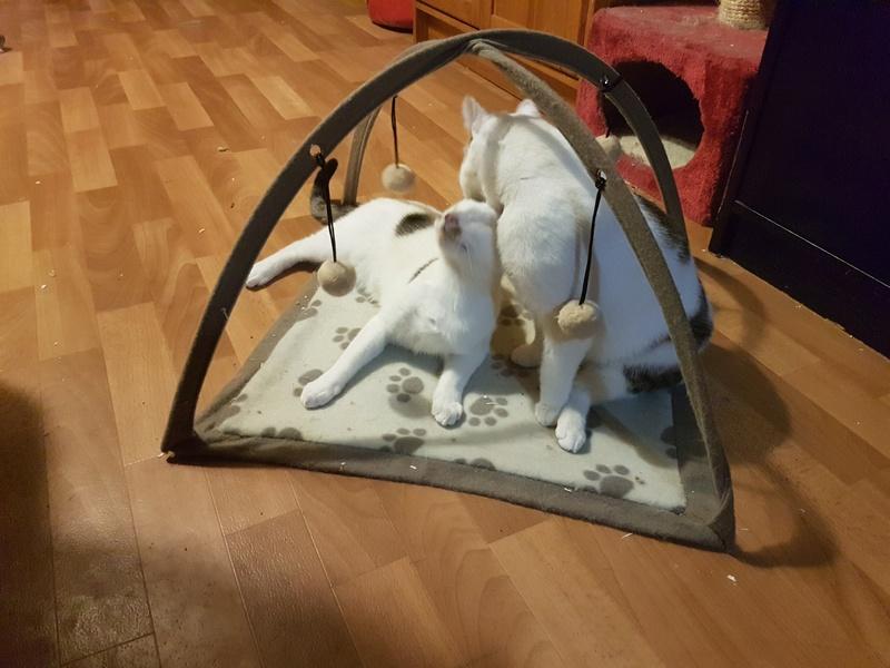 VODKA (ex KIARA) - chat femelle handicapée, née environ en 2015 - chez Lucian - Réservée FA par Abysse - ADOPTEE PAR VALERIE (92) 20180112