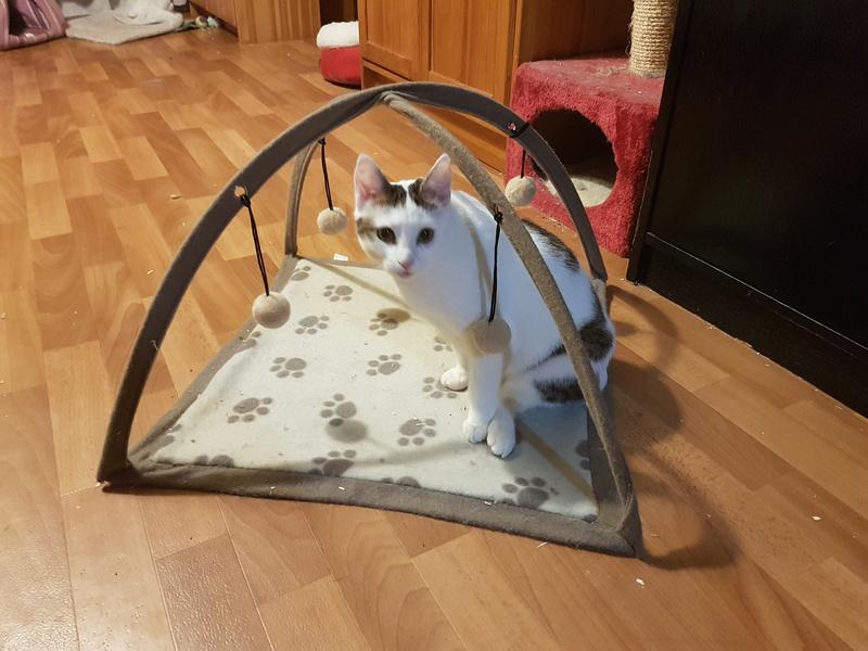 VODKA (ex KIARA) - chat femelle handicapée, née environ en 2015 - chez Lucian - Réservée FA par Abysse - ADOPTEE PAR VALERIE (92) 20180113
