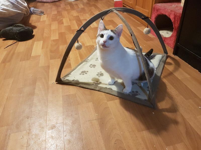 VODKA (ex KIARA) - chat femelle handicapée, née environ en 2015 - chez Lucian - Réservée FA par Abysse - ADOPTEE PAR VALERIE (92) 20180115