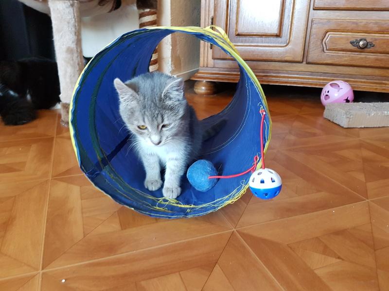 Miss TIGRIS - chat femelle, née en octobre 2017 - en FA chez Abysse (92) - Adoptée par Anne (Belgique) - !! EN FUGUE HELP !! 20180215