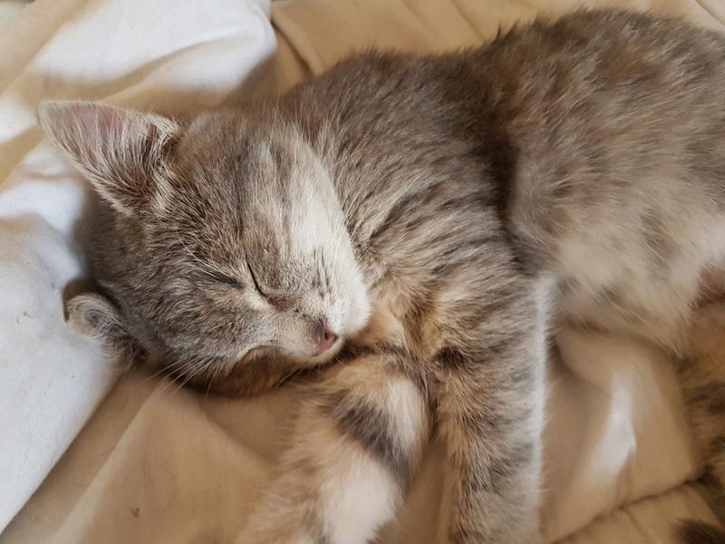 Miss TIGRIS - chat femelle, née en octobre 2017 - en FA chez Abysse (92) - Adoptée par Anne (Belgique) - !! EN FUGUE HELP !! 20180219