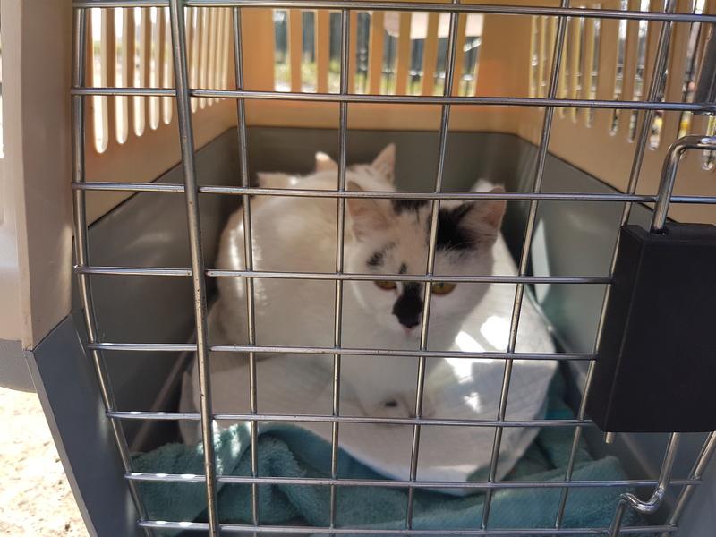 INAYA - chaton femelle, née environ mi novembre 2017 - en FA chez Abysse (92) - ADOPTEE PAR LESLIE et JULIEN (94)  20180340