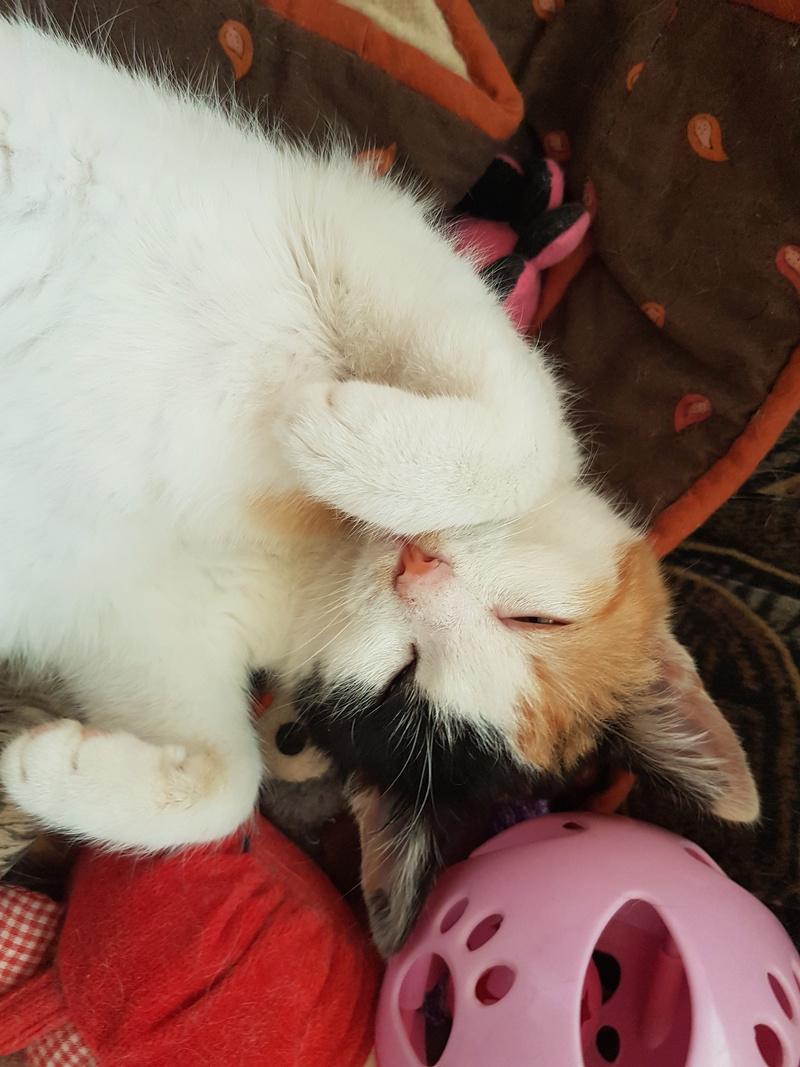 BICKY (ex NASKA) - chaton femelle, née environ novembre 2017 - adoptée par Lorène et Julien (75) 20180344