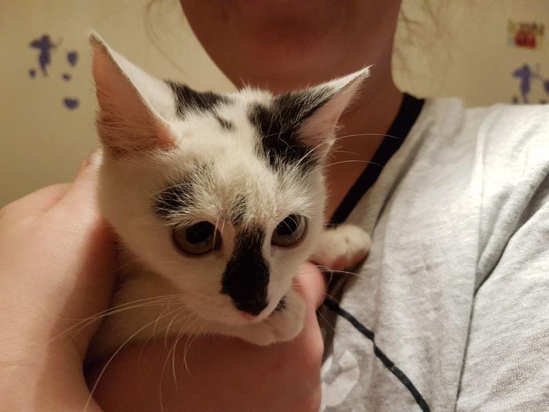 INAYA - chaton femelle, née environ mi novembre 2017 - en FA chez Abysse (92) - ADOPTEE PAR LESLIE et JULIEN (94)  20180350