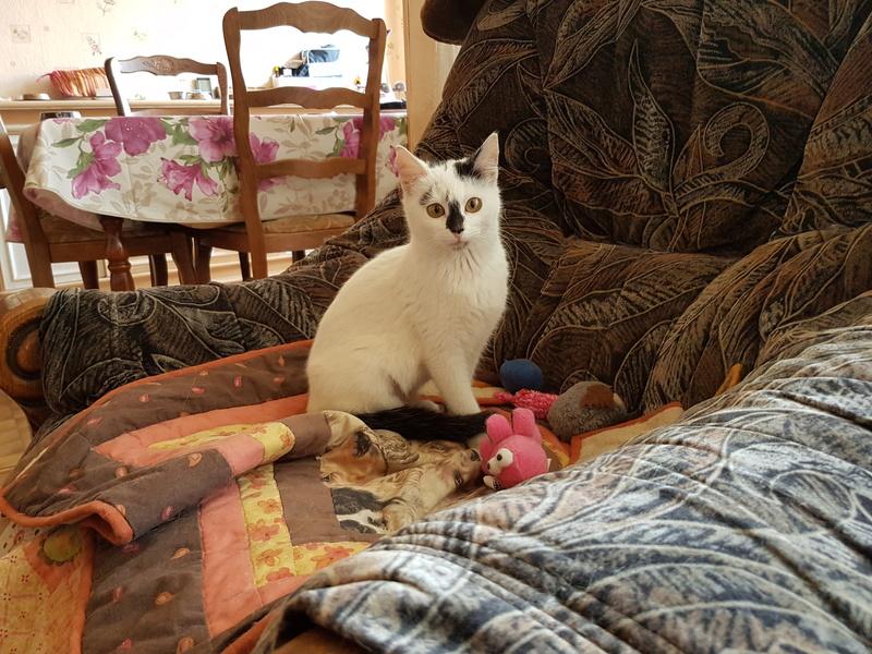 INAYA - chaton femelle, née environ mi novembre 2017 - en FA chez Abysse (92) - ADOPTEE PAR LESLIE et JULIEN (94)  20180351