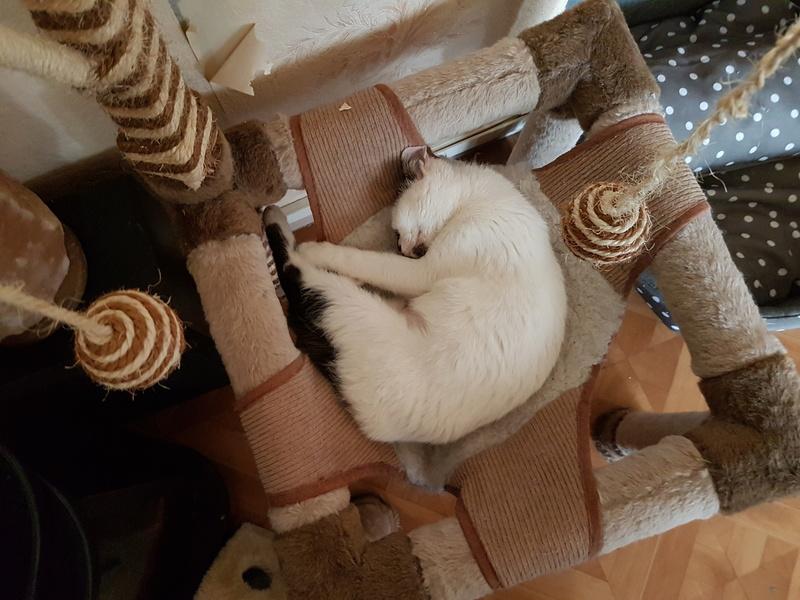 INAYA - chaton femelle, née environ mi novembre 2017 - en FA chez Abysse (92) - ADOPTEE PAR LESLIE et JULIEN (94)  20180415