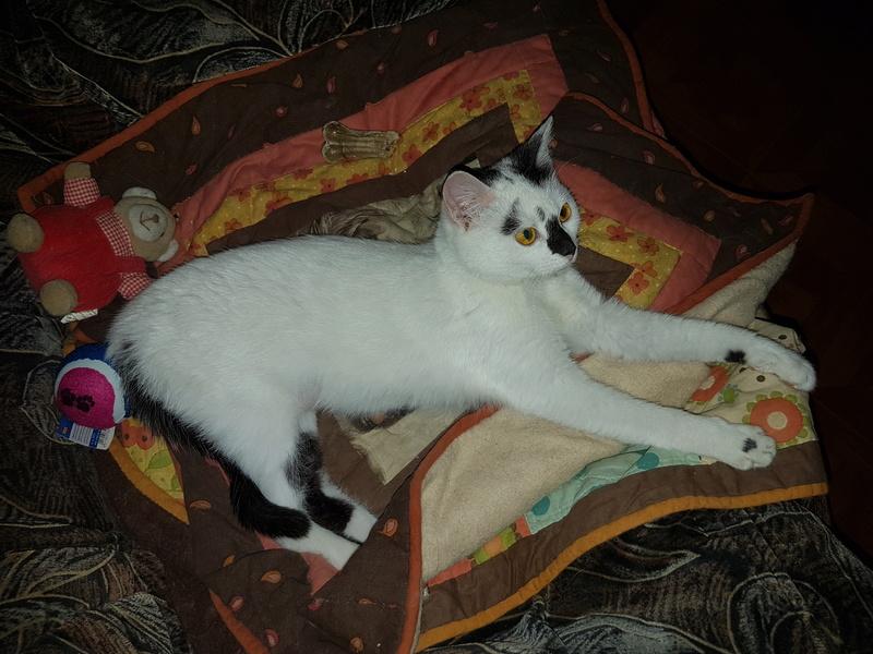 INAYA - chaton femelle, née environ mi novembre 2017 - en FA chez Abysse (92) - ADOPTEE PAR LESLIE et JULIEN (94)  20180417