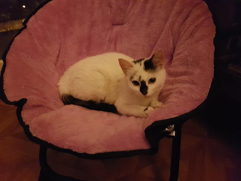 INAYA - chaton femelle, née environ mi novembre 2017 - en FA chez Abysse (92) - ADOPTEE PAR LESLIE et JULIEN (94)  20180419