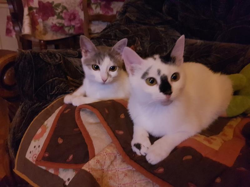 INAYA - chaton femelle, née environ mi novembre 2017 - en FA chez Abysse (92) - ADOPTEE PAR LESLIE et JULIEN (94)  20180445