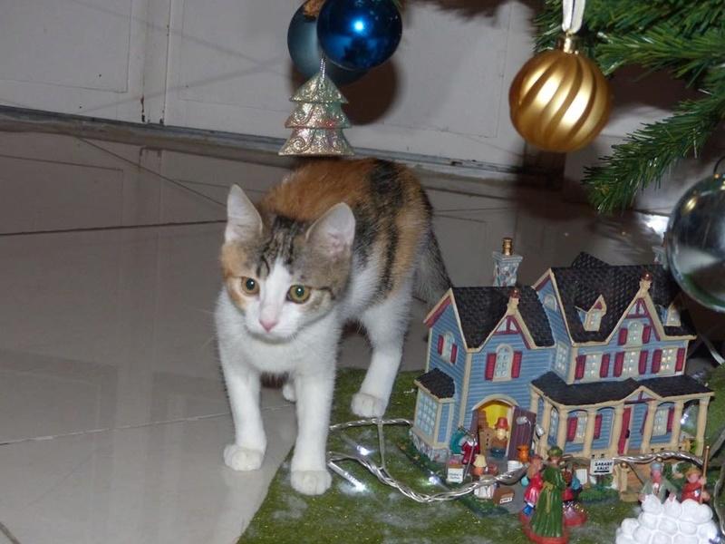 CALICE (ex KAÏNA) - chat femelle, née en fin juillet 2017 - En FA chez Abysse (depart92) - ADOPTEE PAR LAURE (95) - Page 2 26165710