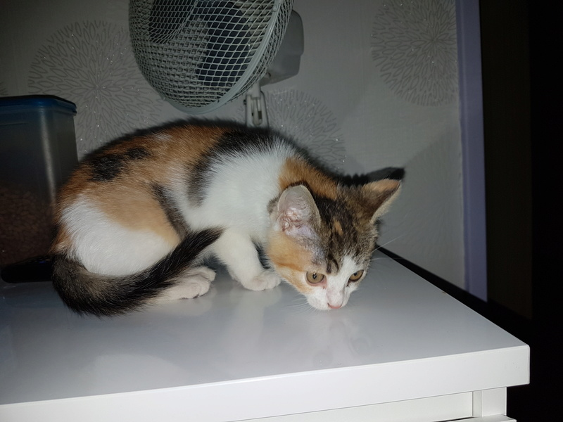 CALICE (ex KAÏNA) - chat femelle, née en fin juillet 2017 - En FA chez Abysse (depart92) - ADOPTEE PAR LAURE (95) 410
