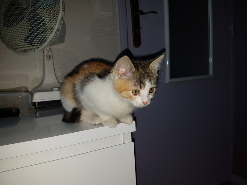 CALICE (ex KAÏNA) - chat femelle, née en fin juillet 2017 - En FA chez Abysse (depart92) - ADOPTEE PAR LAURE (95) 510